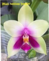 原生種 Phal. bellina 'Jungle' 貝麗娜 香花