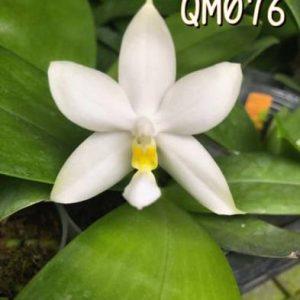 QM076 – Phal. violacea alba x bellina alba #1
