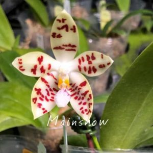 Phal. zebrina 實生苗 (紅斑 美)