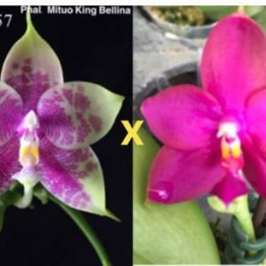 QM056- Phal. Mituo King Bellina xP.Yaphon Red Jewel
